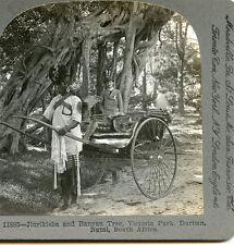 JINRIKISHA AND BANYON TREE VICTORIA PARK DURBAN NATAL SOUTH AFRICA STEREOVIEW