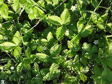 SONDERPREIS: 10 frische schöne Walderdbeerpflanzen Ableger ~Walderdbeeren ~Fexer