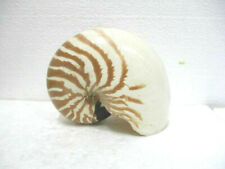 Coquillage : Nautilus macromphalus