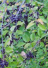 Heirloom Virginia Cherry shrub fruit on small tree edible native LIVE PLANT