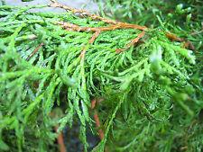 100% Naturreines Ätherisches THUJAÖL (Lebensbaum, Thuja occidentalis), 10 ml