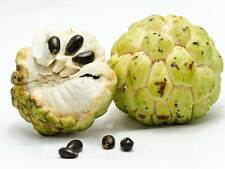 10 Sugar Apple Seeds Annona Squamosa Awesome Tropical Fruiting Plant