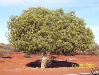 Desert Kurrajong Seed Hardy Member of the Outback Club Evergreen