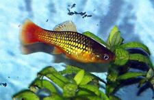 4 x Coldwater platies,Live Tropical cold water coldwater Fish, unheated Tank