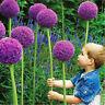 20Pcs Purple Giant Allium Giganteum Flower Seeds Garden Plant Beautiful New