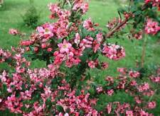 75 Escallonia 'Donard Radiance' Evergreen Hedging Plants in 9cm Pots