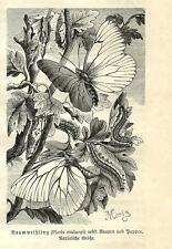 Stampa antica FARFALLE Pieris crataegi BUTTERFLIES 1891 Old antique print