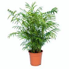 chamaedorea elegans palmier plante d'intérieur 20 graines