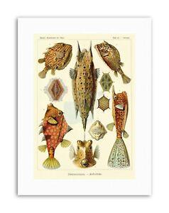 FISH OSTRACIONTES ERNST HAECKEL GERMANY Poster Vintage Nature Biology Canvas