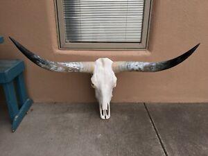 BIG LONGHORN STEER SKULL 4 FEET 3 INCH POLISHED BULL HORN MOUNTED a COW HEAD