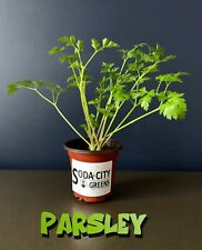 Italian Parsley Herb Live Plant! Ready for your garden!