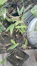 Black Bamboo Plant #1 - 1 Plant - 1 to 2 Feet Tall - Ship in 1 Gal Pot