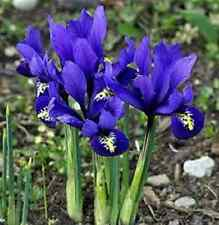 "50 X "" DWARF IRIS RETICULATA HARMONY"" EARLY SPRING FLOWERING BULBS. EARLY ORDER"