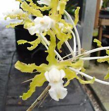 "Extremely Rare Schomburgkia undulata var. alba 'Graf's' Am/Aos 2"" pot Species"