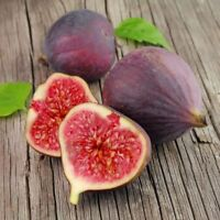 20 Pcs Fig Tree Bonsai Seeds Easy To Grow High Nutrition For Home Garden S085