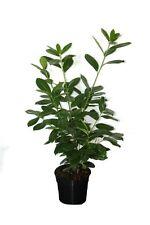 Prunus Laurocerasus Novita 80-100 cm Kirschlorbeer