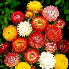 "Helichrysum ""Tom Thumb Mix"" x 100 seeds Flowers for drying and bouquets"