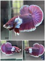 Betta Live Fish - Male Dumbo Lavender Star Tail HMPK  - H2 - Hight Quality