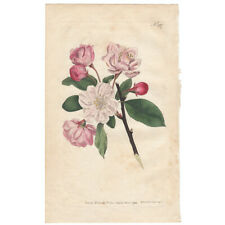 Curtis antique 1st ed 1794 hand-colored engraving, Pl 267 Chinese Apple Tree