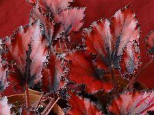 "Begonia Plant Harmony's Red Robin II 4"" Pot Rex"