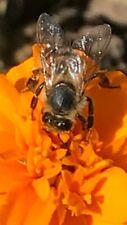 50Annual Pot MARIGOLD SEEDS. Orange & Rust. Sun. Flowers all Season until frost.