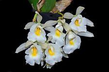 Large Trichopilia hennisiana species Orchid Plant