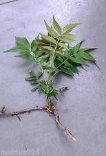 1 sachet de graines  vinaigrier  rhus typhina ( 20 )
