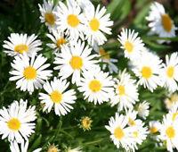 ASTER ALPINE WHITE Aster Alpinus - 50 Seeds