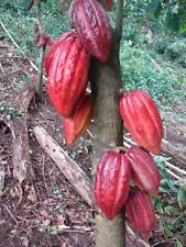 "(10) Ten Theobroma Cacao ""Chocolate tree"" ~well-rooted~ 6-8 inch small Plants"