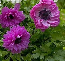 ANEMONE ST BRIGID THE ADMIRAL 20 BULBS SPRING & SUMMER FLOWERING READY TO SHIP