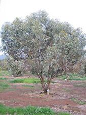 Eucalyptus carnei (Gum Tree) in 50mm forestry tube native plant tree
