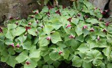 20 Purple Trillium Plants Roots Rhizomes Fresh Replant Wildflower Bethroot