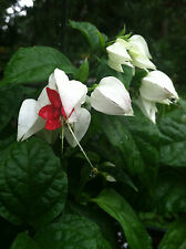 "CLERODENDRUM - THOMSONIAE - BLEEDING HEART VINE - 1 PLANT - 4"" POTS -"