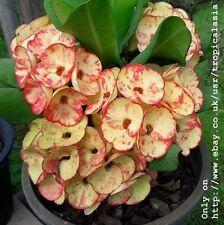 Crown of Thorns Euphorbia Milii Pink Orange Big flowers: Golden bells CT04