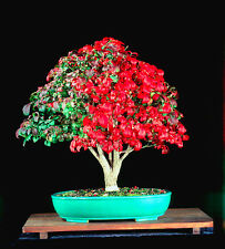 Dwarf-winged burning bush -  30 bonsai seeds -  Euonymus alatus -TREE