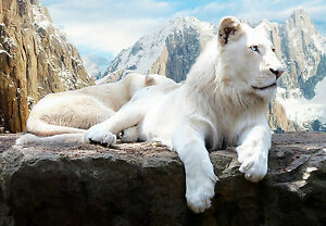 Framed Print - Brilliant White Snow Lion in the Himalayan Mountains (Picture)