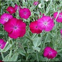 50+ Rose Campion Lychnis Coronaria Flower Seeds / Perennial