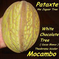 ~MOCAMBO~ Theobroma bicolor WHITE CACAO TREE Balam-te JAGUAR TREE Large PLANT