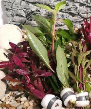 Aquariumpflanzen Set 3 XXL Bunde, Aquarienpflanzen, Wasserpflanzen, Dicke Bunde