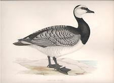 1855 Bird original print Barnacle Goose Beverley R. Morris