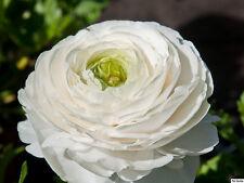 25 x WHITE Ranunculus - PERSIAN BUTTERCUP - Garden Plant Flower BULBS