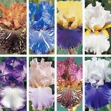 "LOT 10 FRESH SPROUTED MIXED BEARDED IRIS RHIZOME BULBS ""Ice Cream Collection""!"