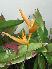 Tropical Ginger Plant Easy To Grow Orange Bird