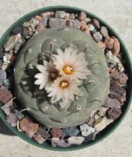 20 seeds Turbinicarpus jauernigii cactus