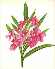 CLARENCE E HALL 1966 Book Print OLEANDER Vintage Tropical Flower Oil Painting