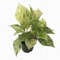 "Plant Epipremnum Marble Queen Devil's Ivy Pothos 4"" Pot Easy to Grow Live Plant"