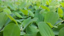 "Water Lettuce ""Pistia Stratioes,"" 5 plants, 2 - 4"""