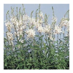 Gaura lindheimeri 'The Bride' / Whirling Butterflies / Hardy Perennial /30 Seeds