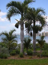 6 Semillas - Palma Botella  - HYOPHORBE VERSCHAFFELTII - Jardín - Garden Samen