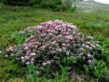 Rhododendron adamsii 30 seeds